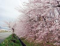Tháng tư đến Nhật Bản ngắm hoa anh đào