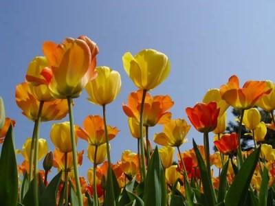 Rộn ràng thành phố hoa tulip