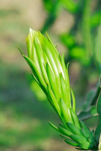 Sắc xuân trên những vườn Thanh Long Bình Thuận