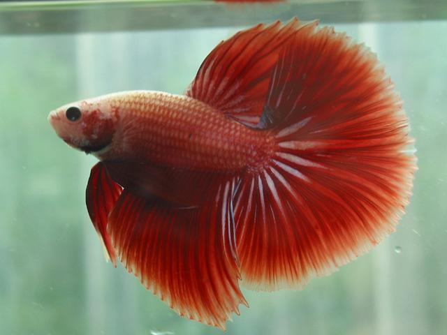 Bể cá nuôi bao nhiêu con thì hợp Phong Thủy?