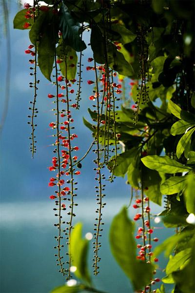 Những mùa hoa đẹp vô cùng ở Hà Nội