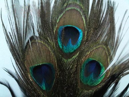 Lông chim công và những bí mật phong thủy
