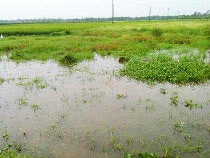 Đất lúa bỏ hoang vì… chờ dự án