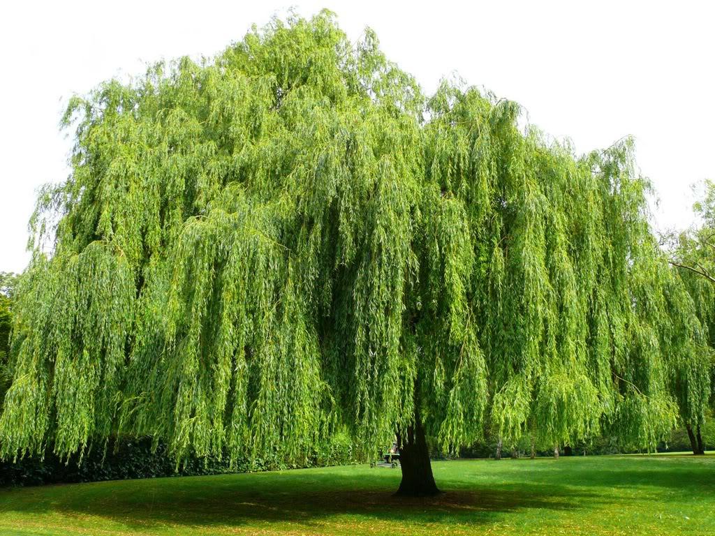 Có nên trồng liễu trước cửa nhà?