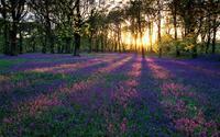 Lãng mạn sắc hoa chuông xanh