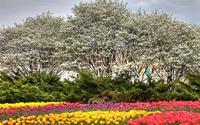 Thả hồn bên những 'thiên đường' hoa tulip