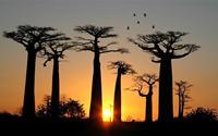 Quang cảnh ngoạn mục của đại lộ bao báp Madagascar