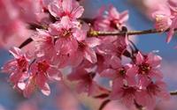 Hoa Mai Anh Đào nở hồng đất trời Lạc Dương