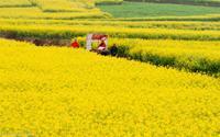 Rực rỡ cánh đồng hoa cải ở La Bình