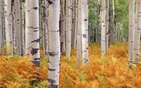 Khung cảnh tuyệt đẹp của rừng Colorado khi vào thu