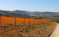 Đón xuân sớm rực rỡ ở Nam Phi