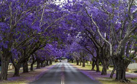 Phượng tím mê hoặc lòng người ở Australia