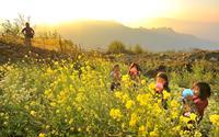 Lào Cai rực rỡ mùa hoa cải