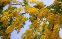 Sài Gòn mùa hoa bò cạp vàng