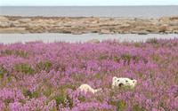 Tiếng gọi nơi hoang dã ở cánh đồng hoa dại Canada