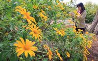Cao nguyên Đà Lạt vàng rực trong mùa hoa dã quỳ