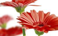 Những loại hoa mang tiền tài cho gia chủ ngày Tết