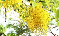 Muồng hoàng yến rực vàng gọi hè sang giữa Hà Nội