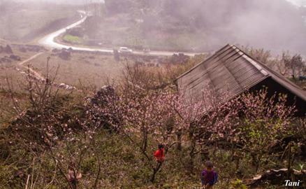 Đào rừng bừng nở giữa trời sương mù Tây Bắc
