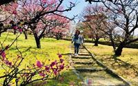 """Ghé thăm Nhật Bản những ngày giữa tháng 3 ngắm """"rừng"""" hoa mơ ngập tràn sắc màu"""