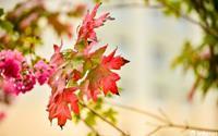 Hàng phong lá đỏ Hà Nội bắt đầu đổi màu