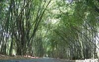 Con đường tre xanh đẹp như tranh vẽ của lão nông 83 tuổi ở Hậu Giang
