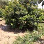 Bán đất vườn chôm chôm 1.1 ha ngay mặt tiền đường nhựa