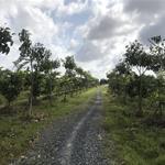 CẦN BÁN GẤP ĐẤT TRANG TRẠI DT 34200M2 GIÁ 12 TỶ KHU ĐÔ THỊ MỚI BÌNH MINH, TP VĨNH LONG