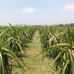 Cần bán vườn thanh long 3100 trụ, diện tích 30000m2 tại xã Bình An, Bắc Bình, Bình Thuận