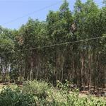 Bán đất cây lâu năm 36.172m2 trồng tràm kín đất 4 năm tuổi.