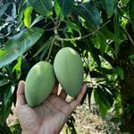 Bán lô đất trồng Xoài giá chỉ 635tr/sào gần KCN Định Quán, QL 20