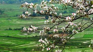 Mộc Châu mùa hoa ban nở
