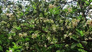 Tháng ba- mùa hoa bưởi nồng nàn