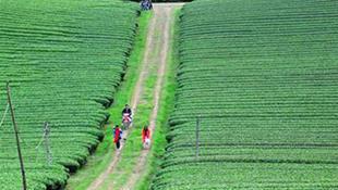 Những đồi chè xanh ngát ở Mộc Châu