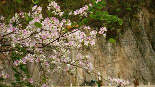 Với sắc trắng tinh khôi, những cánh hoa ban đã tạo nên vẻ đẹp trong trẻo cho núi rừng Tây Bắc