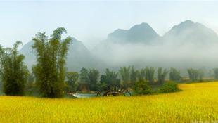 Mùa vàng bên sông Quây Sơn (Trùng Khánh, Cao Bằng).