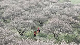 Tháng giêng, hoa mận Mộc Châu nở trắng xóa một vùng