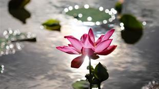 Sen hồng trong nắng sớm