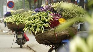 Tháng Tư, mùa hoa loa kèn xuống phố