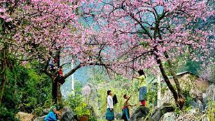 Hoa đào ở Mộc Châu